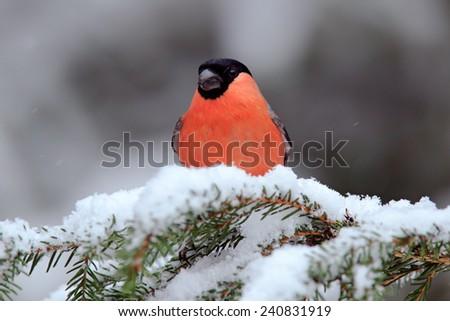Red songbird Bullfinch sitting on snow branch during winter - stock photo