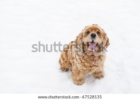 Red spaniel dog play in the snow in winter looks requests have