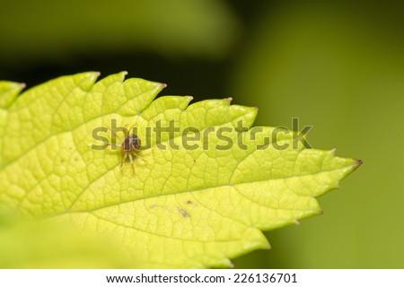 Red Spider Mite - stock photo