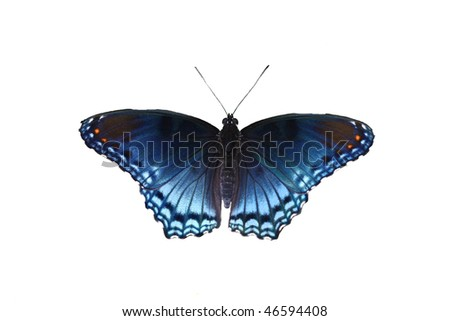 Red Spotted Purple Butterfly (Limenitis arthemis astyanax) isolated