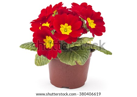 Red spring primroses flowers, primula polyanthus in a flowerpot isolated on white background - stock photo