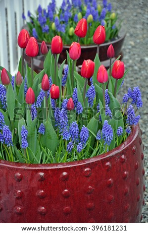 Red spring tulips and bluebell flowers in flowerpot - stock photo