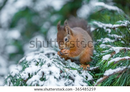 Red squirrel caching food, County of Northumberland, England - stock photo