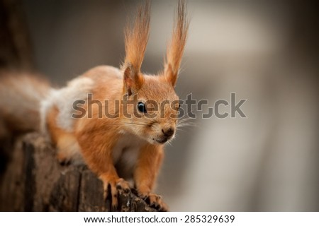 red squirrel closeup sitting on stump of tree on dark background