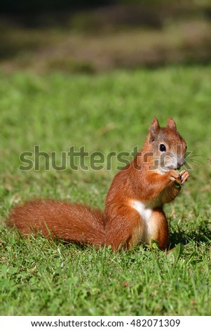 Red squirrel eating grass on a meadow.