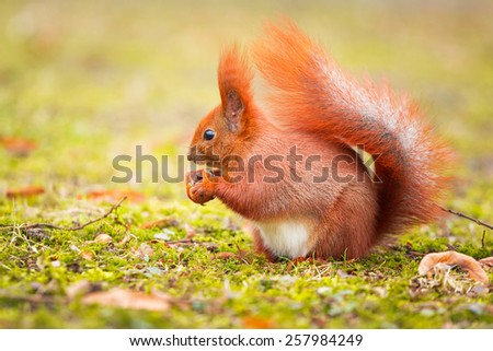 Red squirrel eating hazelnut in the park - stock photo