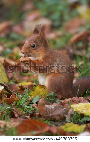 Red squirrel eating hazelnuts.  - stock photo