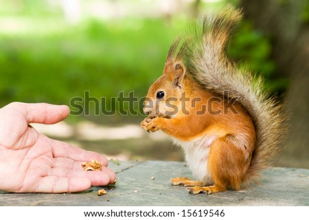 red squirrel eating in the hand - stock photo