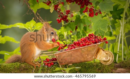red squirrel  eating with a wheelbarrow with red currant and branch above