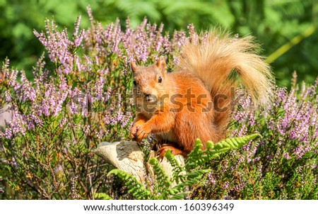 Red Squirrel enjoying the British Summer - stock photo