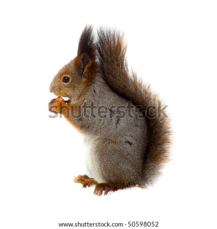 Red squirrel Eurasian (Sciurus vulgaris) in front of white background. - stock photo