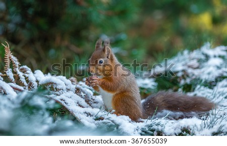 Red squirrel gathering food during Winter, County of Northumberland, England