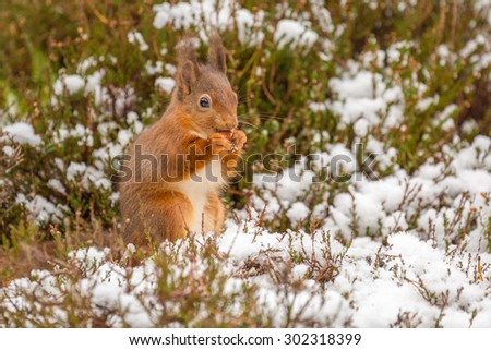 Red squirrel gathering food in Winter