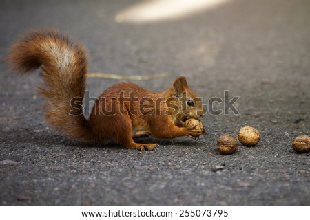 Red squirrel gnawing nuts - stock photo