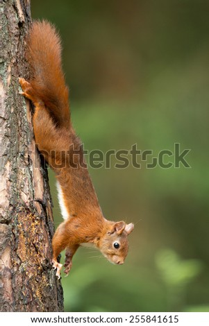 Red Squirrel going down on a tree - stock photo