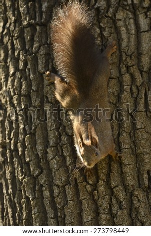Red Squirrel hanging upside down from a tree - stock photo