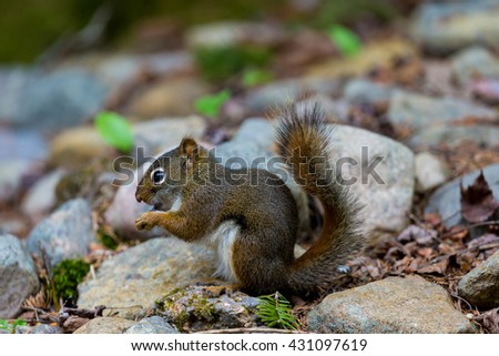 Red Squirrel in a Boreal forest in northern Quebec. The red squirrel or Eurasian red squirrel is a species of tree squirrel. The red squirrel is an arboreal, omnivorous rodent.  - stock photo