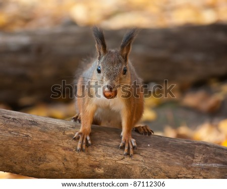 Red squirrel in autumn park eating a nut - stock photo
