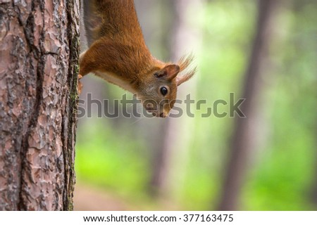 Red Squirrel in Formby nature reserve north west England - stock photo