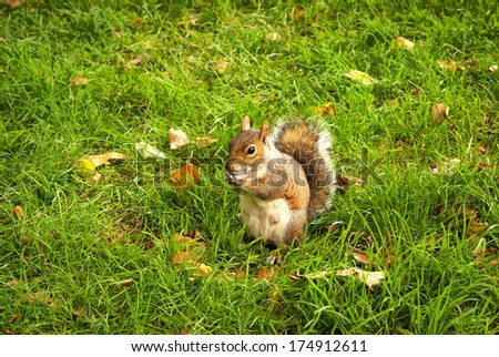 Red Squirrel in High Park of London. - stock photo