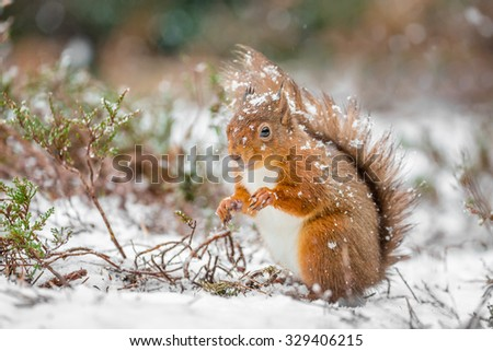 Red squirrel in snowfall, County of Northumberland, England - stock photo
