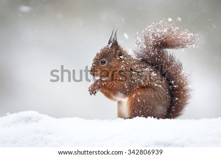 Red squirrel in the falling snow - stock photo
