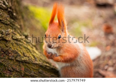 Red squirrel in the park - stock photo