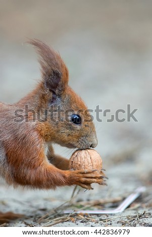 Red squirrel in the wild, a portrait
