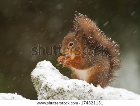 Red squirrel in winter - stock photo