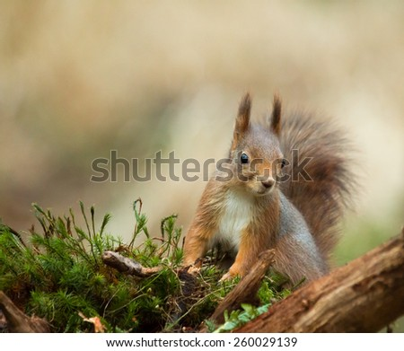 Red Squirrel in woodland - stock photo