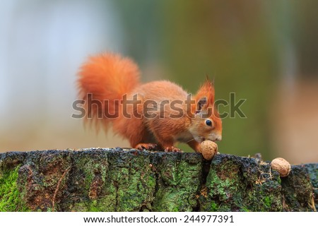 Red squirrel is taking nut - stock photo