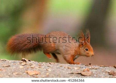 Red Squirrel jumping into the focus - stock photo