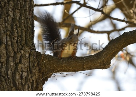 Red Squirrel looking down from tree branch. - stock photo