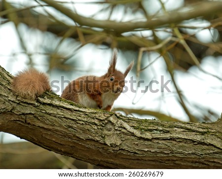 Red Squirrel looking down from tree branch on Brownsea Island, Dorset. - stock photo