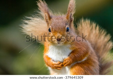 Red squirrel looking so cute, County of Northumberland, England - stock photo