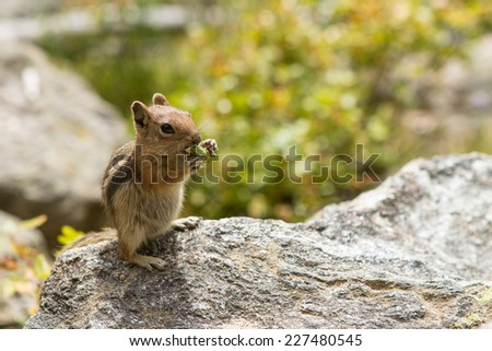 Red Squirrel Nibbling on Dandelion - stock photo