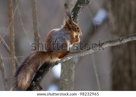 Red squirrel on a branch eating - stock photo