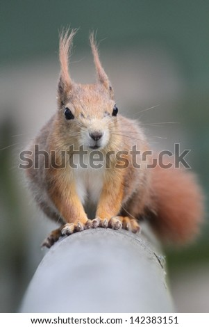 red squirrel on a hand rail