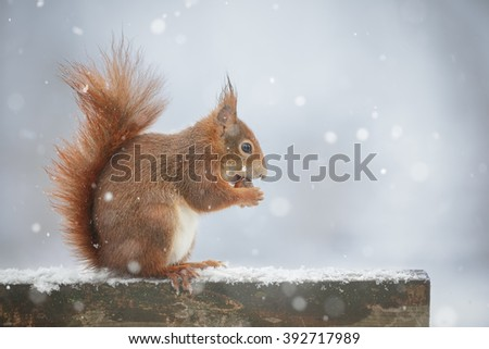 Red squirrel on a park bench during a snow shower - stock photo