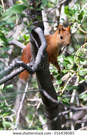 Red squirrel on a tree in Ala Archa national park, Kyrgyzstan, Central Asia