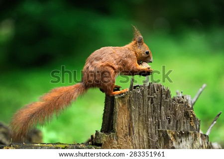 Red squirrel on a tree stump with nuts - stock photo