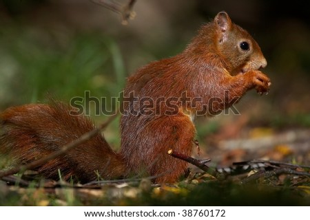 red squirrel on forest floor eating nut