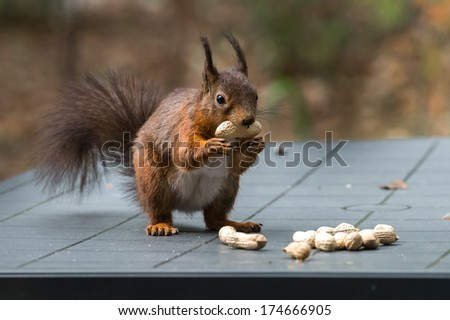 Red squirrel on garden table full of peanuts - stock photo