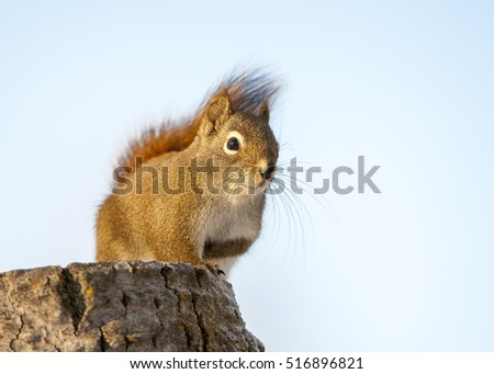 Red squirrel on stump looking for food in Alberta