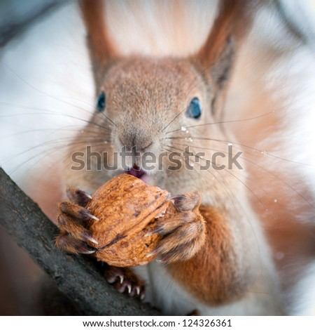 Red squirrel on the branch eating a walnut - stock photo