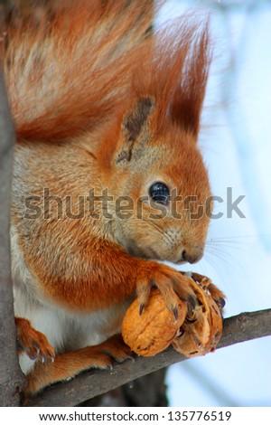 Red squirrel on the snow taken in Kyiv, Ukraine, in winter - stock photo