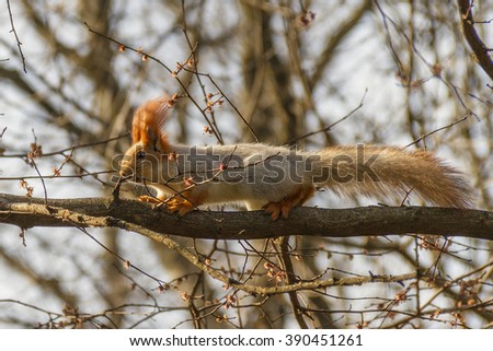 Red squirrel on the tree in spring park - stock photo