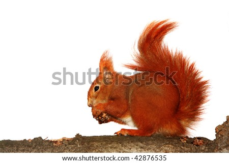 red squirrel on white background - stock photo