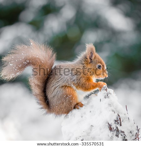 Red Squirrel perched on tree stump, County of Northumberland, England - stock photo