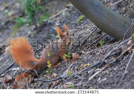 Red squirrel portrait - stock photo